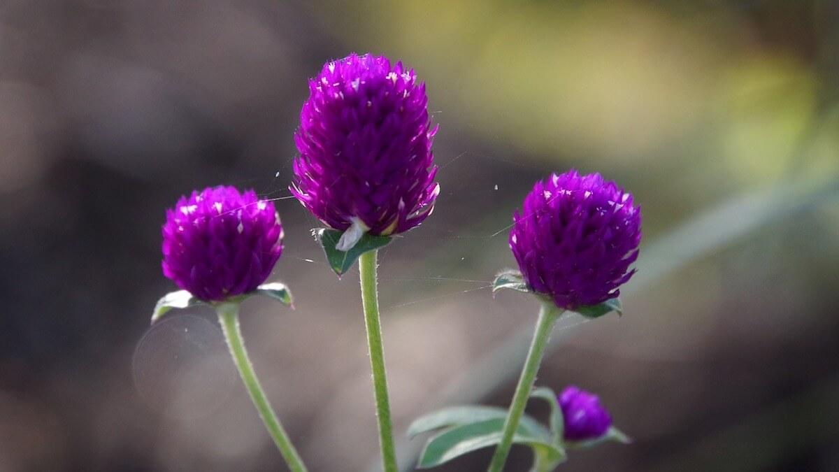 아마란스 꽃