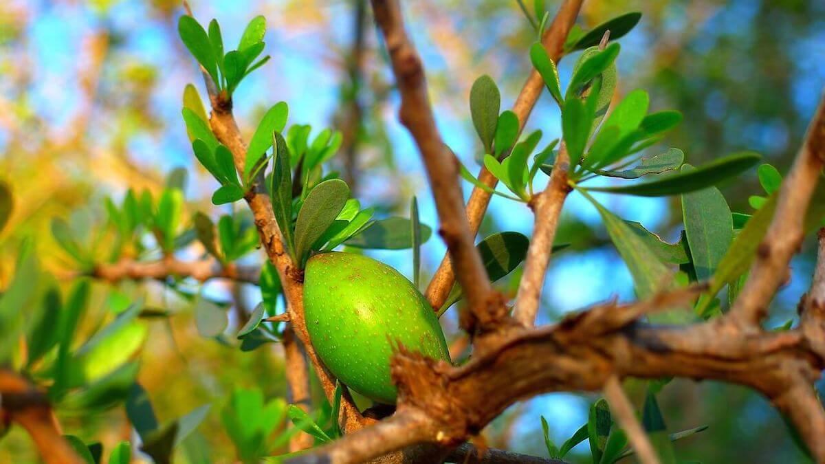 아르간 열매