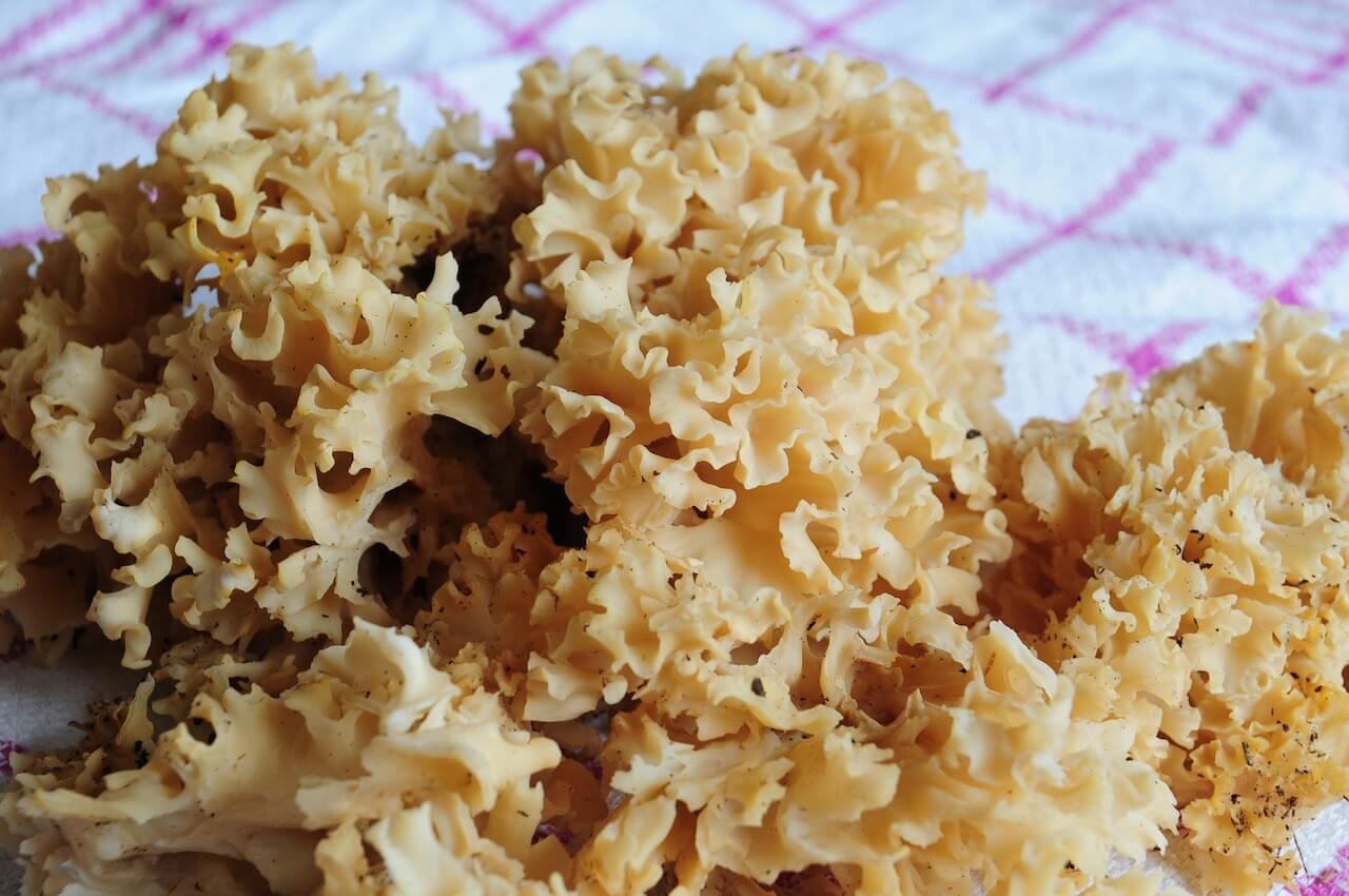꽃송이버섯