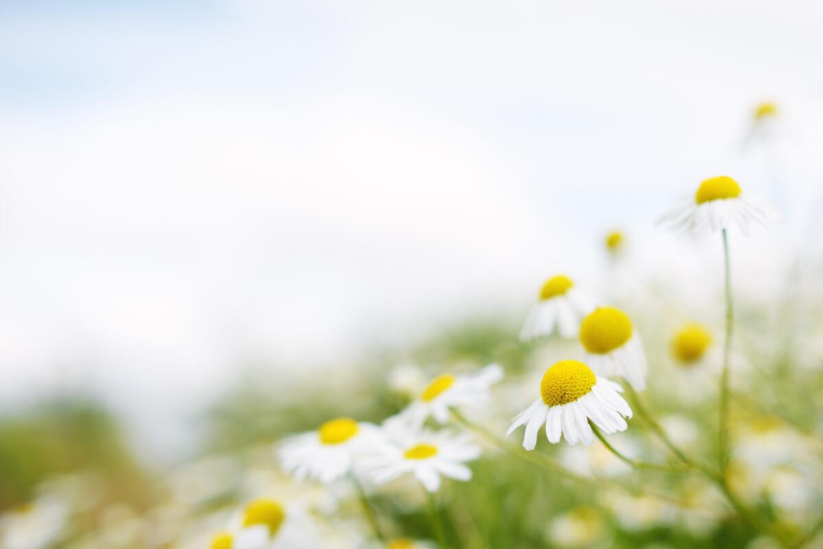카모마일 꽃