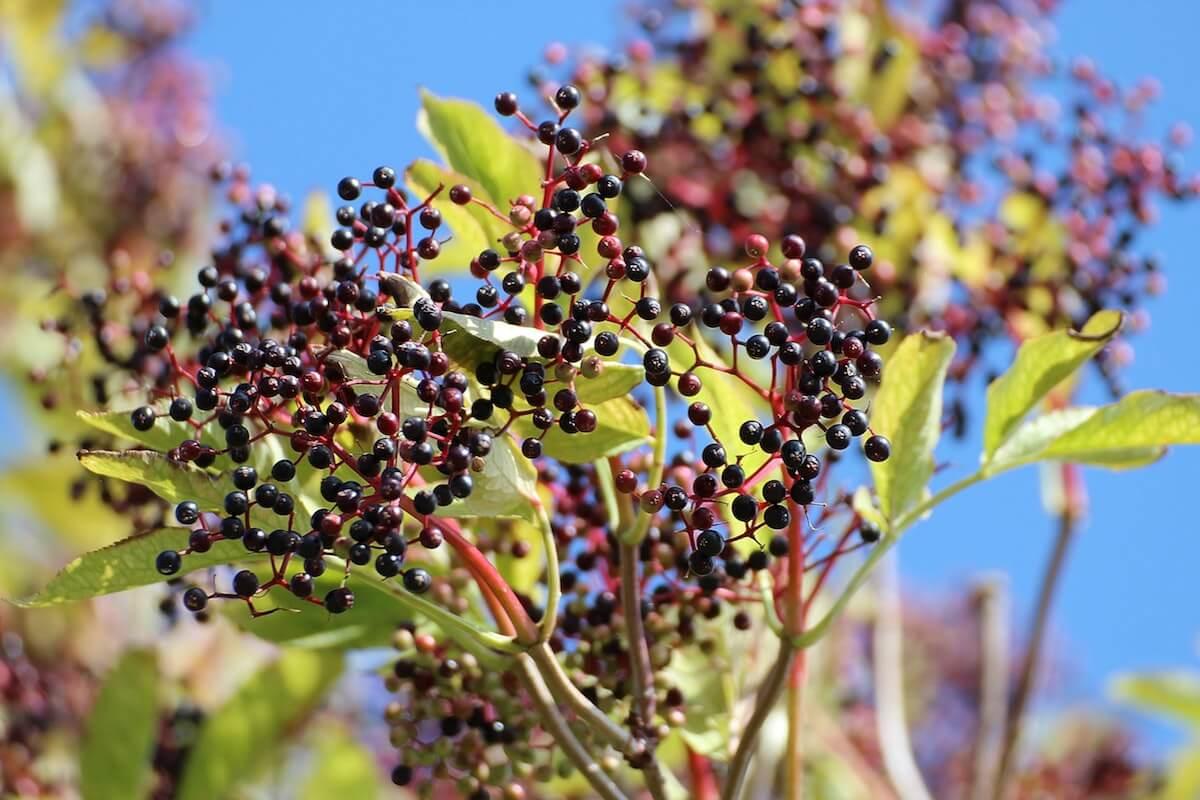 엘더베리 나무 열매