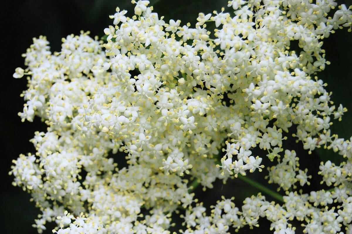 엘더베리 나무 꽃