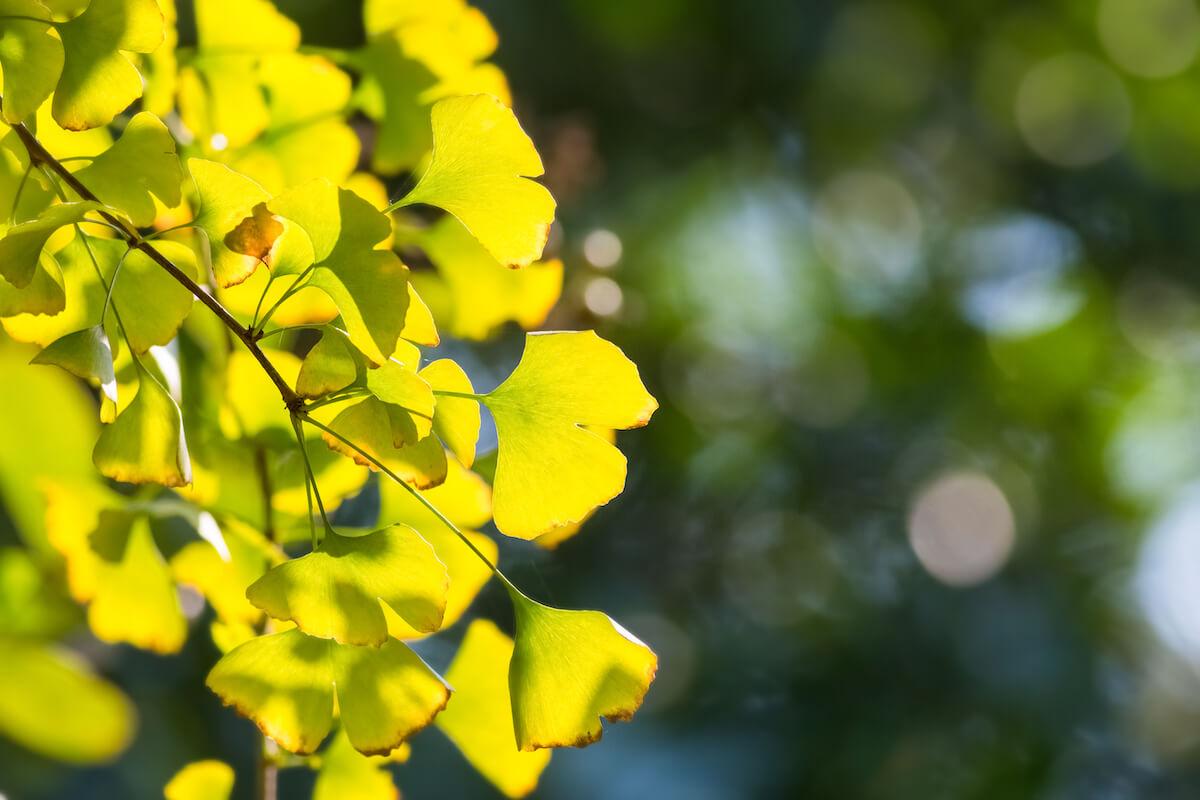 은행나무 잎