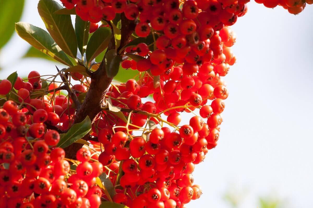 씨벅톤 열매