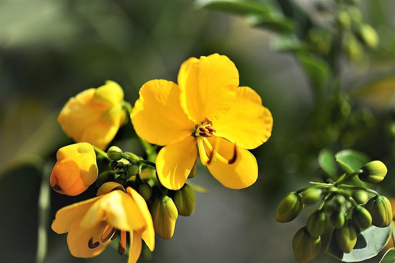 결명자 꽃