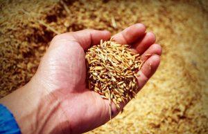 미정제 곡물